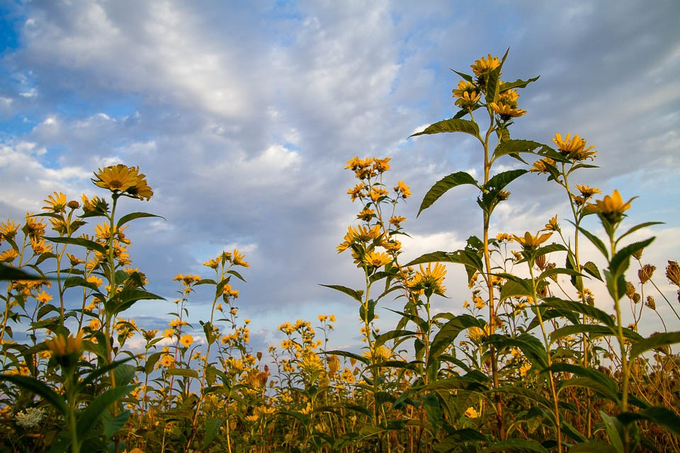 Lookign up to Wild Sunflowers