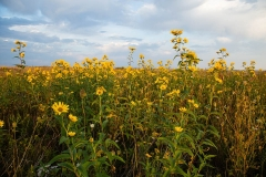 Wild Sunflowers 3