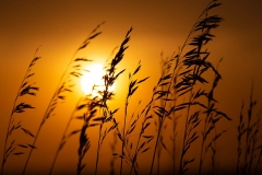 Prairie Grasses at Sunset