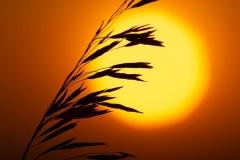 Prairie Grass Silhouette
