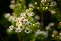 White Prairie Flowers 2