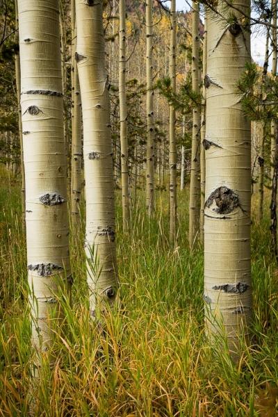 Aspen trunks 2