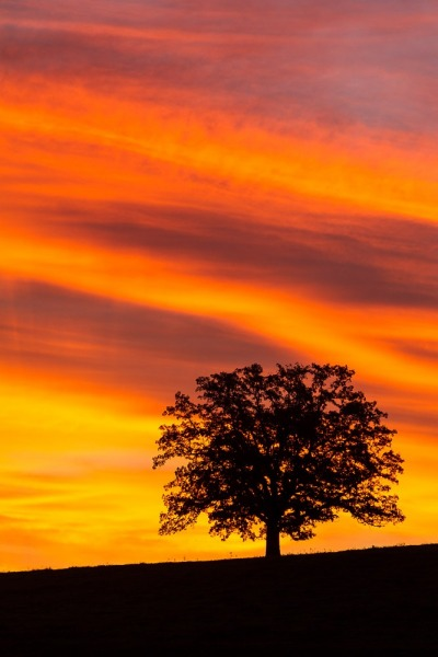 Silhouette of oak tree against stunning display of colored clouds in the morning.