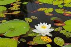BWCA Water Lily