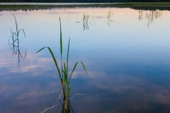 Cattails on Itasca