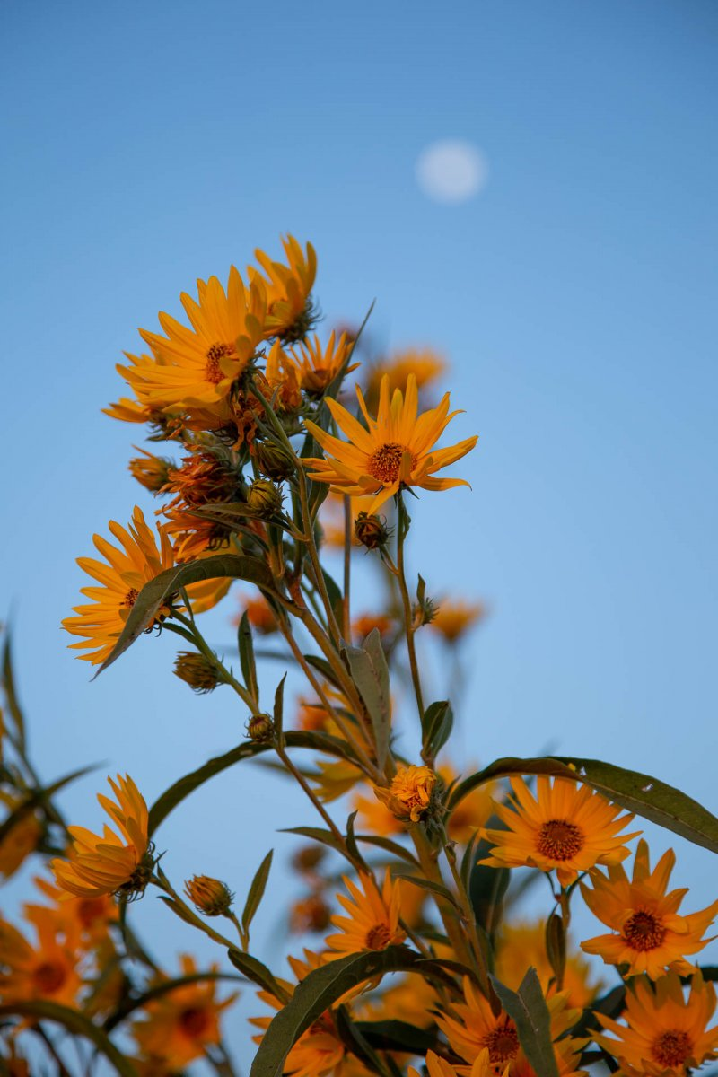Wild Sunflowers and Moon