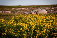 Wild Sunflowers and Quartzite