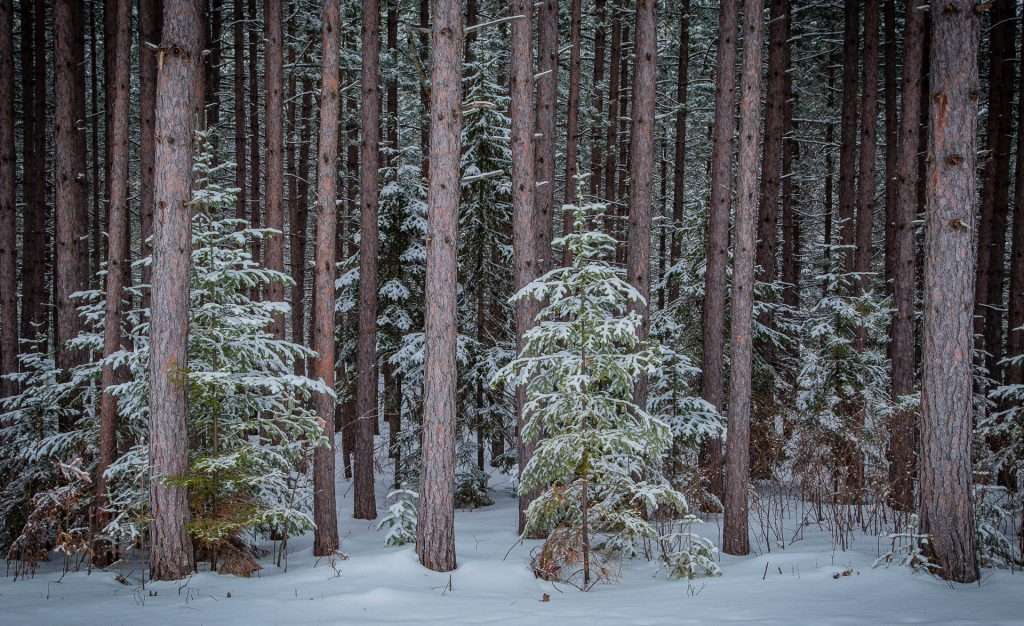 pine trees with fresh snow